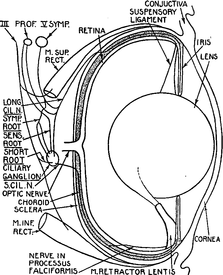 Figure 1 From Accommodation And Its Reflex Pathways In The Teleosts