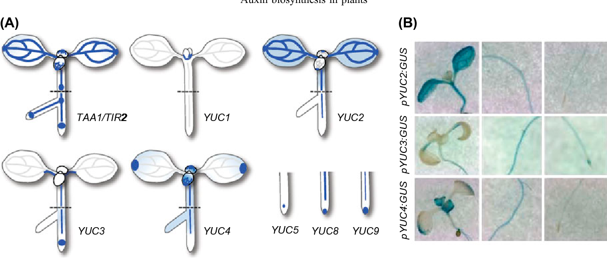 Figure 4 From Current Aspects Of Auxin Biosynthesis In