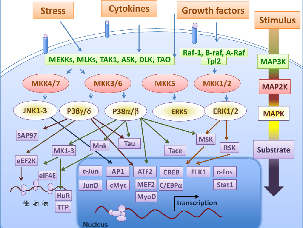 Figure 1 from TNF and MAP kinase signalling pathways.   Semantic