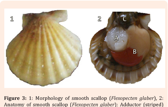 Figure 3 From Meat Yield And Shell Dimension Of Smooth Scallop