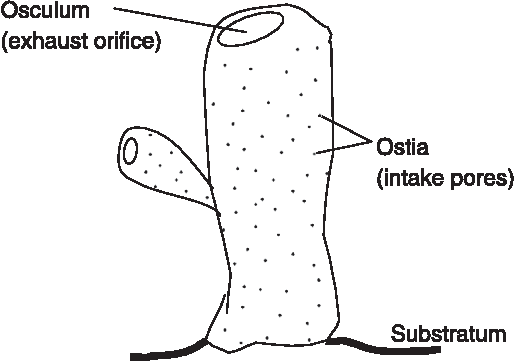 ostia and osculum