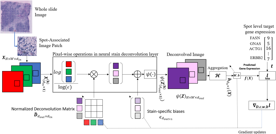 Figure 1 for All You Need is Color: Image based Spatial Gene Expression Prediction using Neural Stain Learning