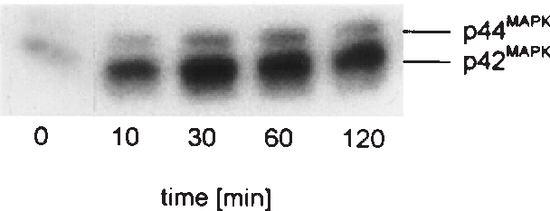 Fig. 1. Vanadate activates p42/p44MAPK. Starved SMCs were stimulated with 100 µM vanadate and extracted at the time points indicated. p42/ p44MAPK activity was determined using an in-gel assay as described in 'Materials and methods'.
