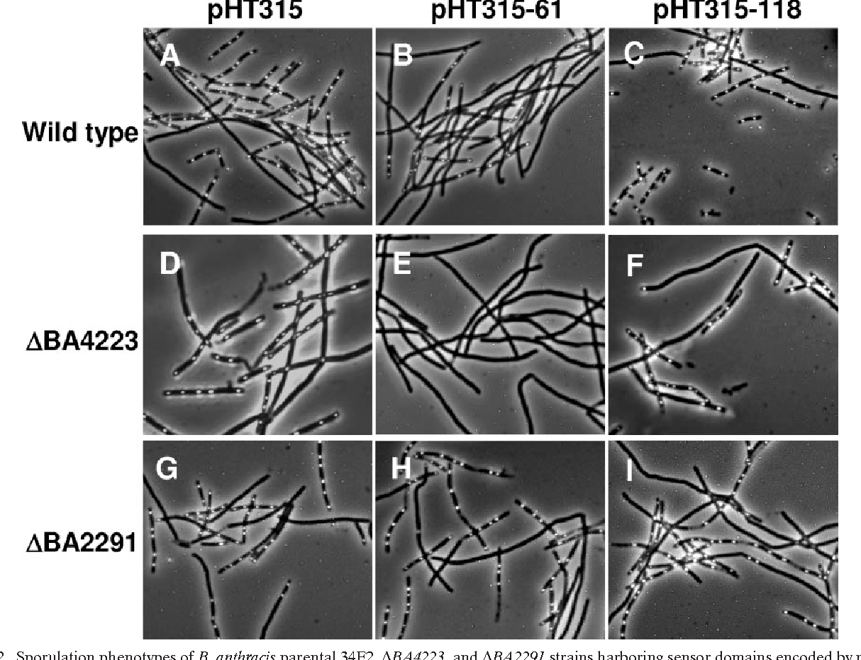 FIG. 2. Sporulation phenotypes of B. anthracis parental 34F2, BA4223, and BA2291 strains harboring sensor domains encoded by pX01-118 (pHT315-118) and pXO2-61 (pHT315-61) expressed from their native promoters on multicopy plasmid pHT315. Cultures of each strain were grown in 5 ml of Schaeffer's sporulation medium (24) with the appropriate antibiotics for 17 h at 37°C with shaking.