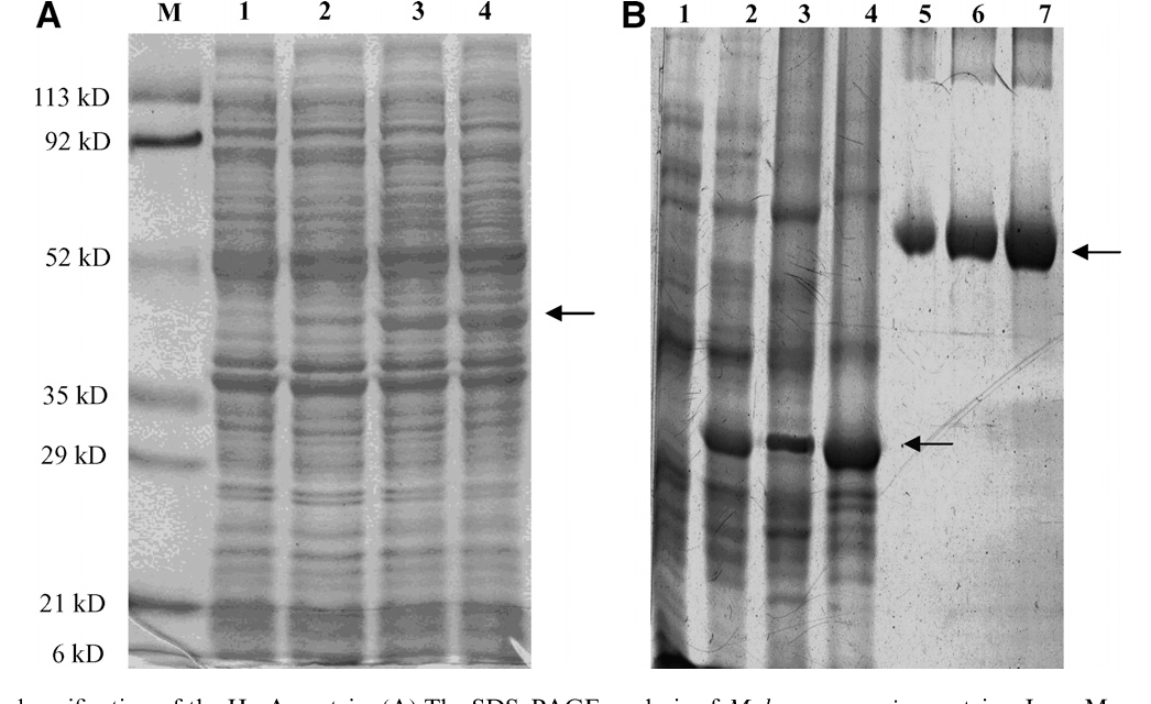 Fig. 1. Expression and purification of the HrcA protein. (A) The SDS–PAGE 92, 52, 35, 29, 21, and 6 kDa. Lane 1, the total protein profile without induction arrow indicates the band position of the induced HrcA protein. (B) The purific mycoplasmal protein before and after the induction for 4 h. Lane 3 represent dialysis. Lane 4 represents the aggregated proteins after dialysis. Lanes 5–7 repr amount of purified HrcA protein.