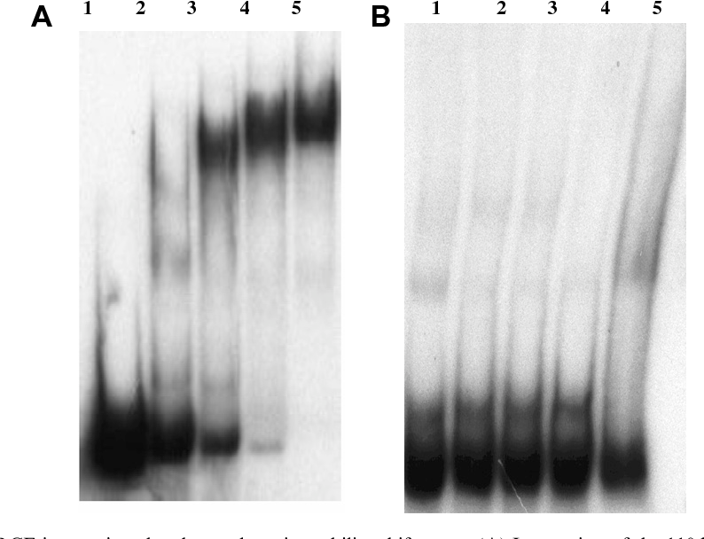Fig. 3. The analysis of HrcA–CIRCE interactions by electrophoretic mobility predicted IR-1 + IR-2 regions) with the purified recombinant HrcA protein. L (5 pmol) performed on 5% PAGE interacted with 0, 30, 60, 120, and 240 pmol (carrying only the IR-2 region) with the HrcA protein. Lanes 1–5 represent th 60,120, and 240 pmol HrcA protein, respectively.