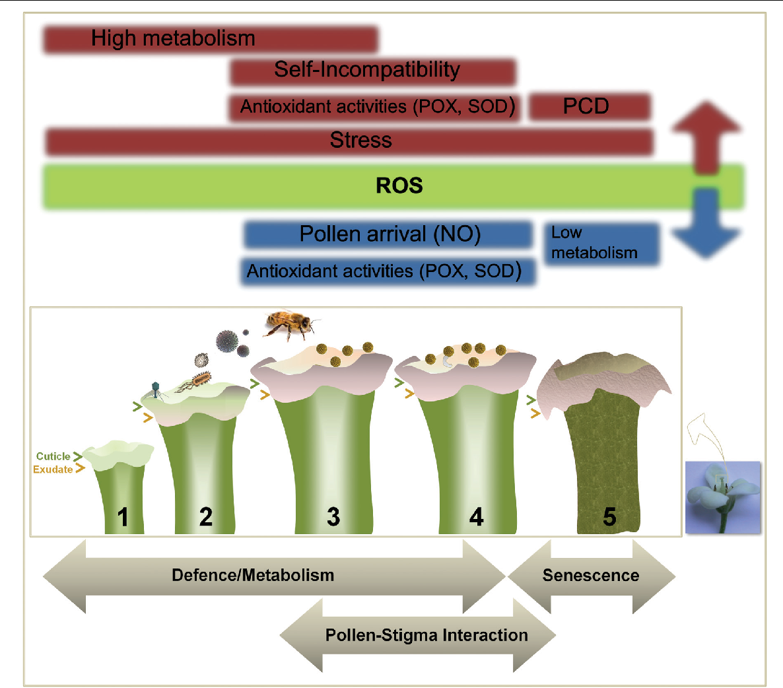 pollen stigma interaction in plants