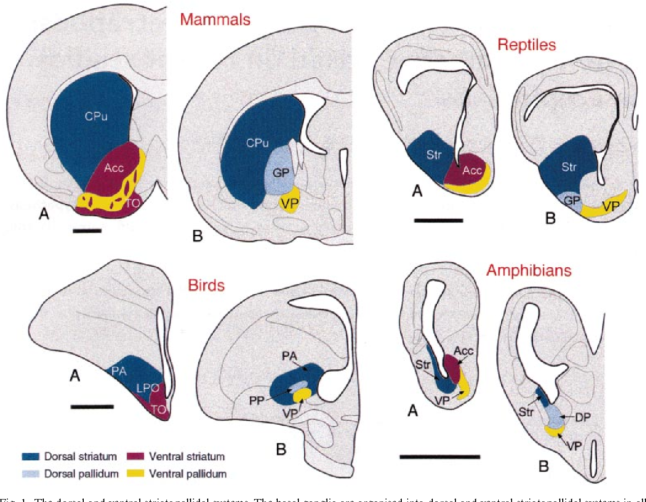Evolution Of The Basal Ganglia New Perspectives Through A