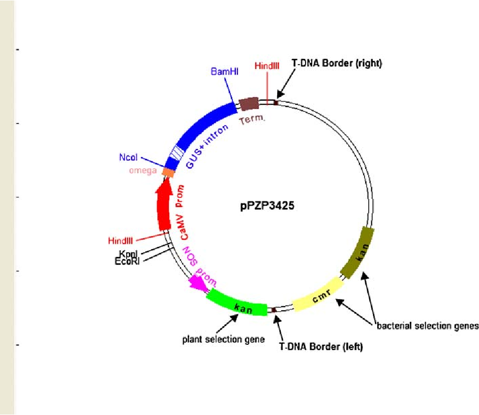 An Improved pPZP Vector for Agrobacterium-mediated Plant