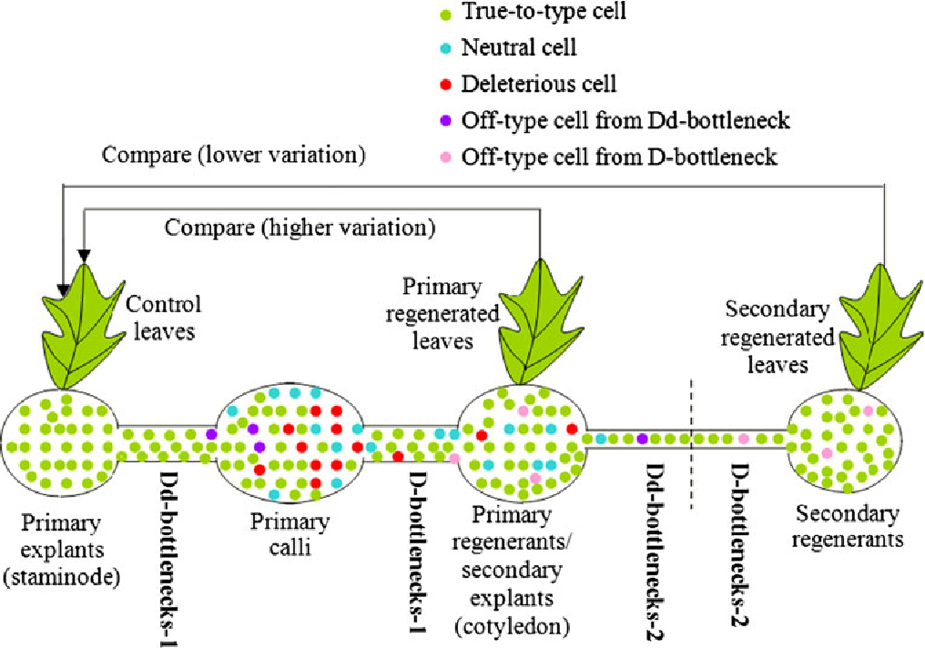 An evolutionary view of plant tissue culture: somaclonal variation