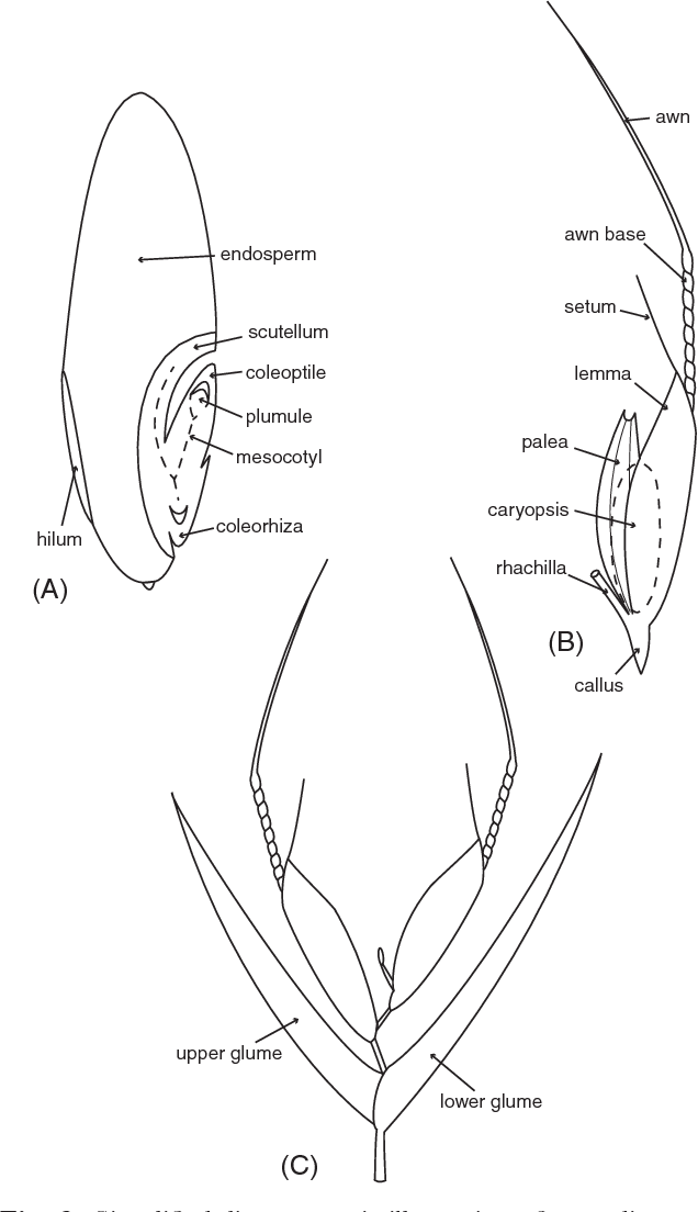 Figure 6 from global grass poaceae success underpinned by traits simplified diagrammatic illustration of grass diaspores a longitudinal section ccuart Image collections