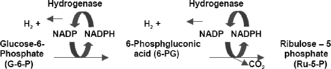 Fig. 5. In vitro enzymatic pathway to produce molecular hydrogen