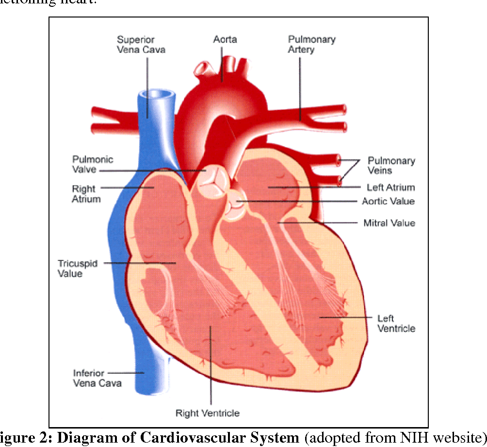 Magnificent mammalian heart anatomy worksheet internal photo human draw and label the diagram of mammalian heart diagram ccuart Images