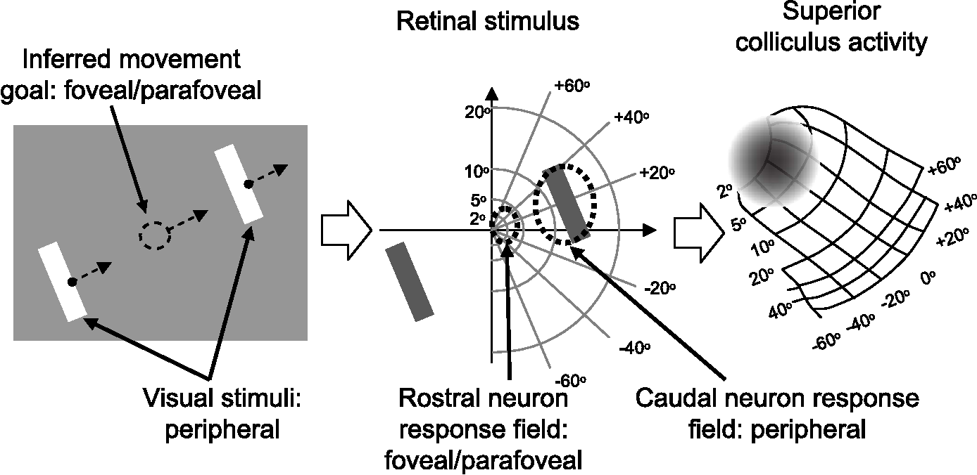 Figure 1. The role of the SC in extrafoveal tracking. Our monkeys viewed two peripheral bars that moved sinusoidally together along an axis orthogonal to the bars' orientation. The monkeys had to track the invisible midpoint between the two bars as it moved (left). With proper tracking, the inferred movement goal was always near the fovea, but the visual stimuli were always peripheral (middle). Thus, neurons in the rostral SC, representing the central visual field, did not have a visual stimulus inside their response fields, but they did represent locations associated with the goal of tracking. Neurons in the caudal SC, representing more peripheral locations, did not represent the goal of tracking. We hypothesized that rostral neurons dominate SC activity during this task despite the lack of a visual stimulus (right, schematic activity is shown as a gray cloud on a classic representation of the SC topographic map).