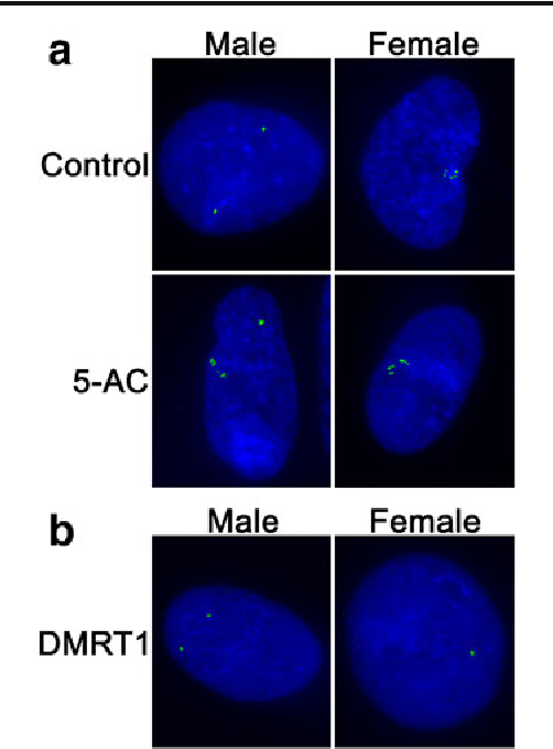 Fig. 1 Interphase DNA FISH to chicken male and female fibroblast cells using MHM (a) or DMRT1 (b) BAC DNA as probes. a In controls not treated with 5-AC, there were two single MHM signals in male cells and multiple signals at one locus in female cells, which suggests that the status of chromatin is closed in male and open in female. After 5-AC treatment, the signal pattern in males became similar to that of females, with multiple spots on one or both Z loci. Counter staining: DAPI