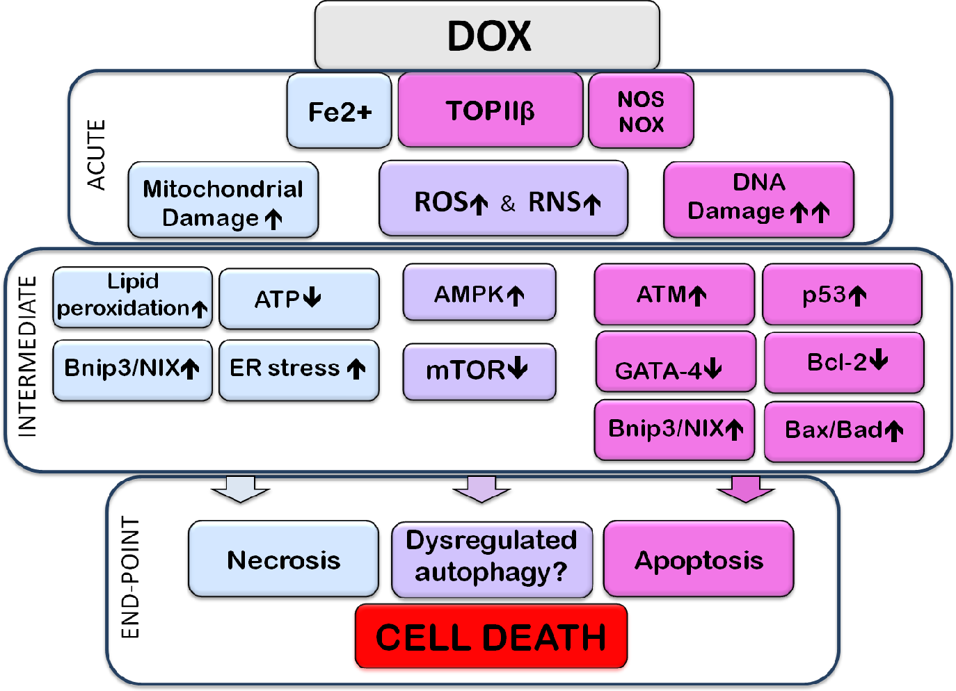 Figure 1 from Autophagy and mitophagy in the context of doxorubicin