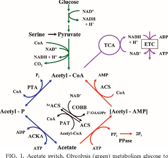 Figure 1 From Quorum Sensing Flips The Acetate Switch