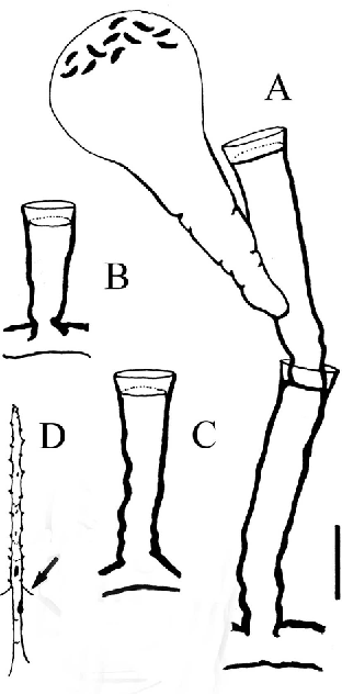 Figure 3 From Eucheilota Menoni Kramp 1959 Cnidaria Hydrozoa