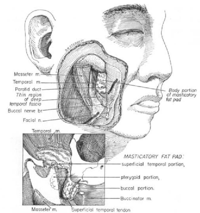 Figure 1 from Fasciae of the masticator space. - Semantic Scholar