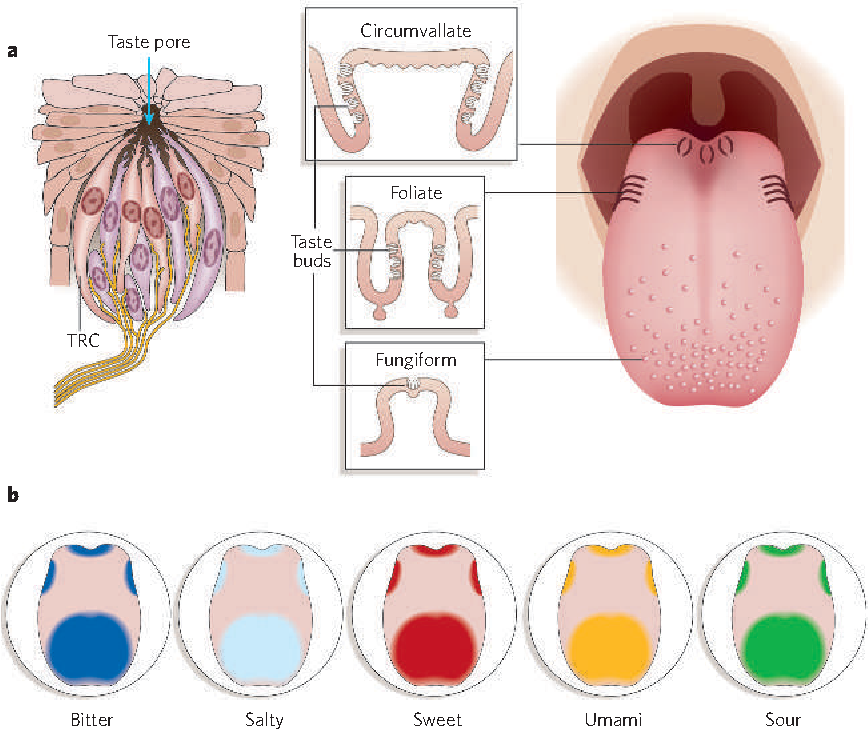 Figure 1 From The Receptors And Cells For Mammalian Taste Semantic