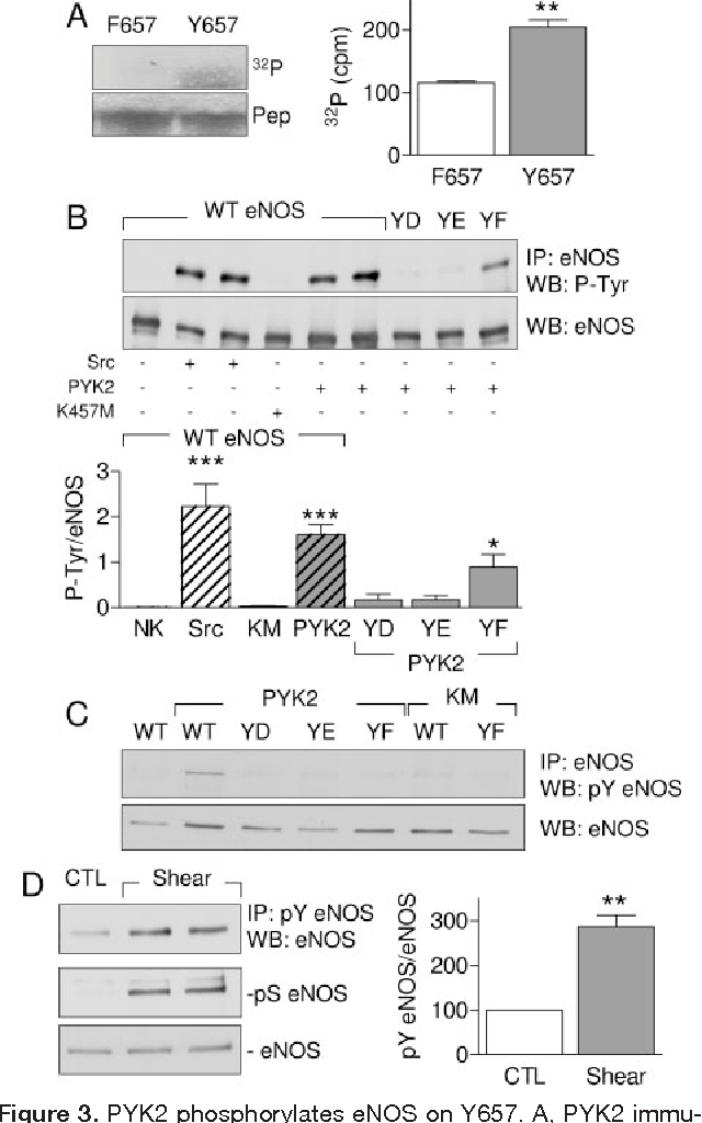 Figure 3 from Inhibition of endothelial nitric oxide synthase
