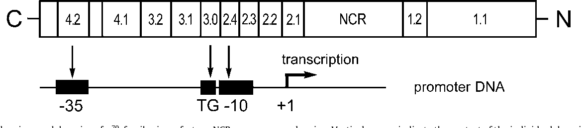 Fig. 1. Conserved regions and domains of 70-family sigma factors. NCR, non-conserved region. Vertical arrows indicate the contact of the individual domains with the −35 a point −