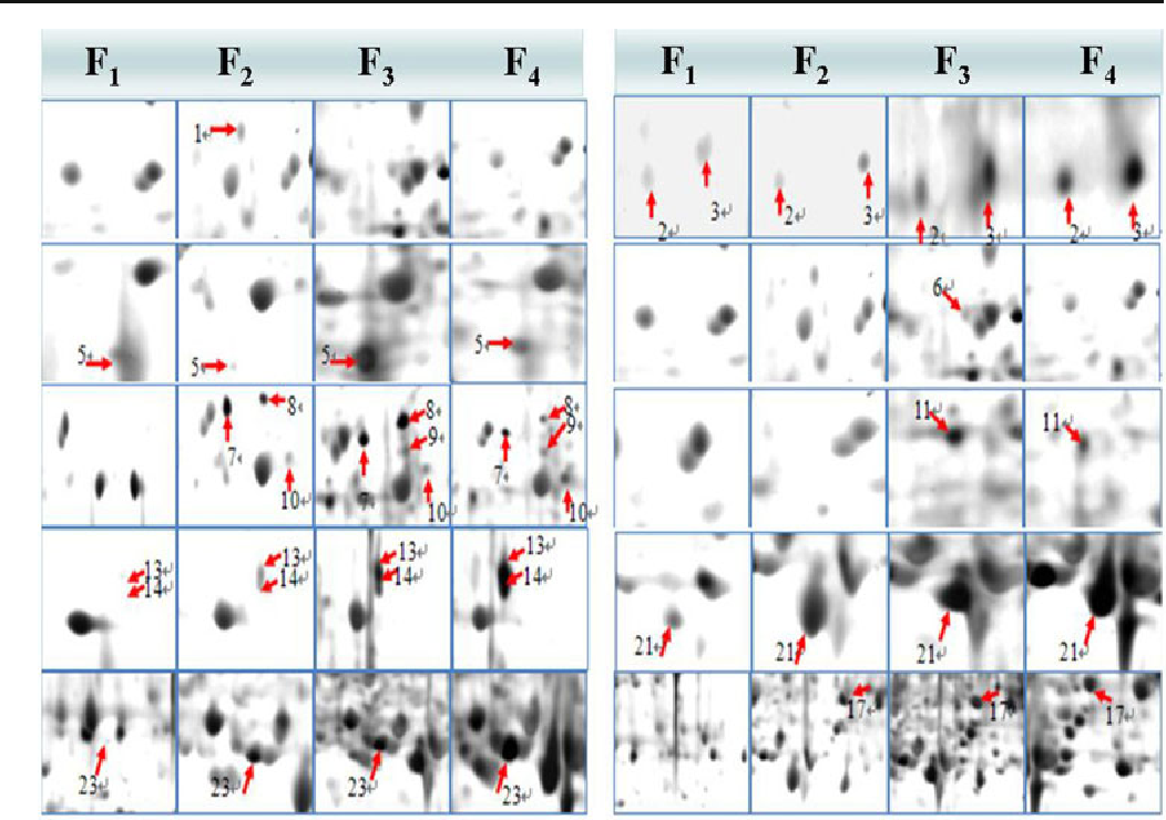 Fig. 3 Magnified pictures of differential proteins on 2-D gels of B. napus hybrids F1∼F4