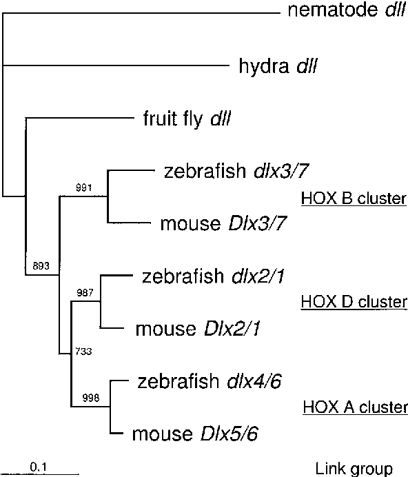 Figure 2. A neighbour-joining tree for Dlx clusters. Paired Dlx homeodomains are concatenated to represent each Dlx clusters for mouse and zebrafish. Single dlx gene in vertebrate ancestor is assumed. 1000 replication for bootstrap analysis have been done. Values more than 500 are shown in figure.