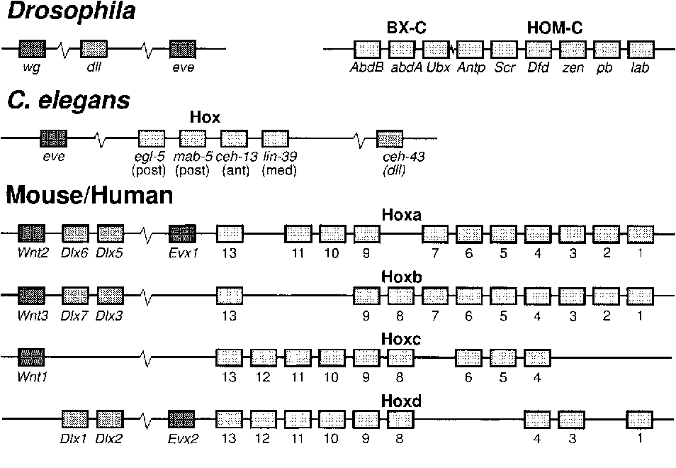 Figure 3. Hox and Dlx cluster organization in Drosophila, C.elegans and mammals (mouse and human). Boxes represent transcription units, and continuous horizontal lines connecting boxes represent linkage on the same chromosome. Hatch marks interrupting lines indicate a large gap between the genes represented. Note that not all intervening genes are shown. Observe also that the Dlx ortholog in C. elegans (ceh-43) is located on the opposite side of the Evx/Hox cluster relative to the pattern in mammals. In Drosophila the Dll and the Hox cluster are not linked.