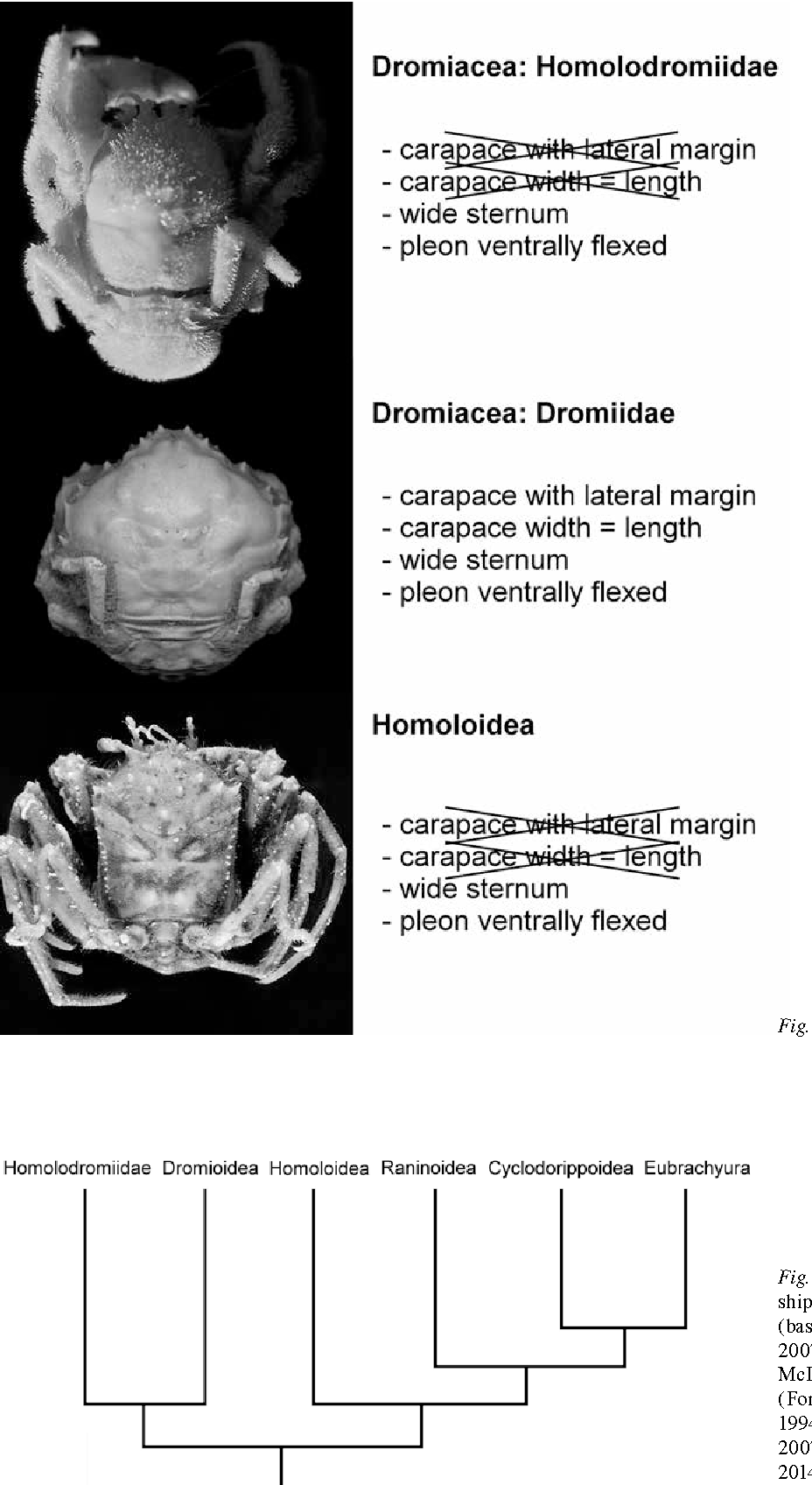 Evolution of crabs – history and deconstruction of a prime example ...