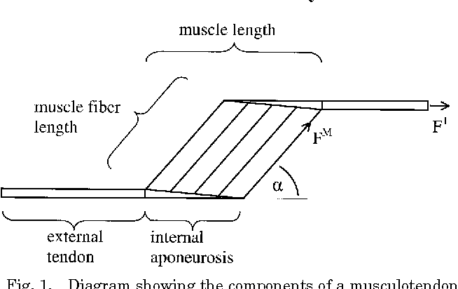 Architectural Properties Of Distal Forelimb Muscles In Horses Equus