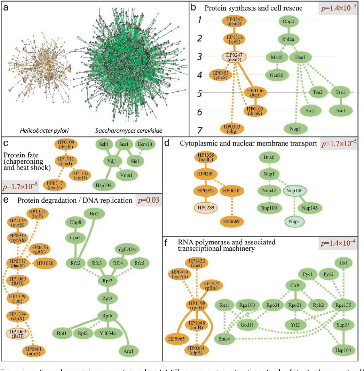 Fig. 2. Top-scoring pathway alignments between bacteria and yeast. (a) The protein–protein interaction networks of H. pylori (orange network) and S. cerevisiae (green network) were globally aligned to reveal conserved network regions (b–f ). Proteins with above-threshold sequence similarity are placed on the same row of the pathway alignment (e.g., deaD and Dbp2 in row 1 of b). Direct protein interactions appear as solid links, and gaps or mismatches are dotted. Proteins recurring within a region due to multiple sequence homologies (e.g., deaD in b) are lighter in color. P values were computed by using random graphs as described in Methods.