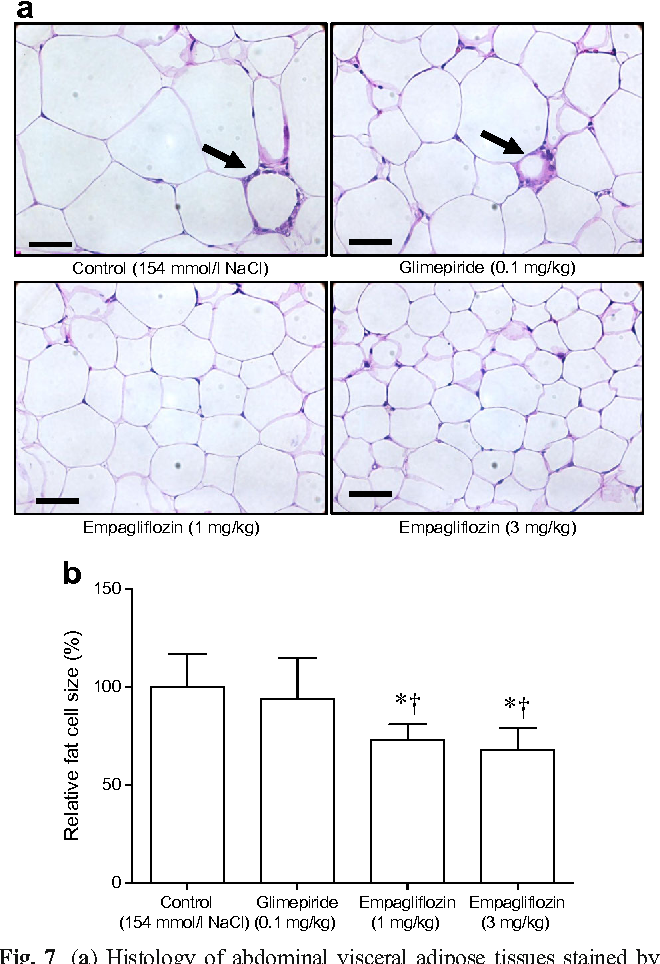 Fig. 7 (a) Histology of abdominal visceral adipose tissues stained by H&E (n = 12 per group) (scale bars, 20 μm). The arrows indicate crown-like structures. (b) Comparison of fat cell size (% of control), glimepiride and empagliflozin groups. Data are means ± SEM. *p< 0.05 vs control; †p< 0.05 vs glimepiride