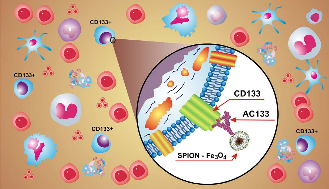 Figure 1. Representative sketch of the surface labeling of a CD133 + stem cell by the AC133-coupled SPION.
