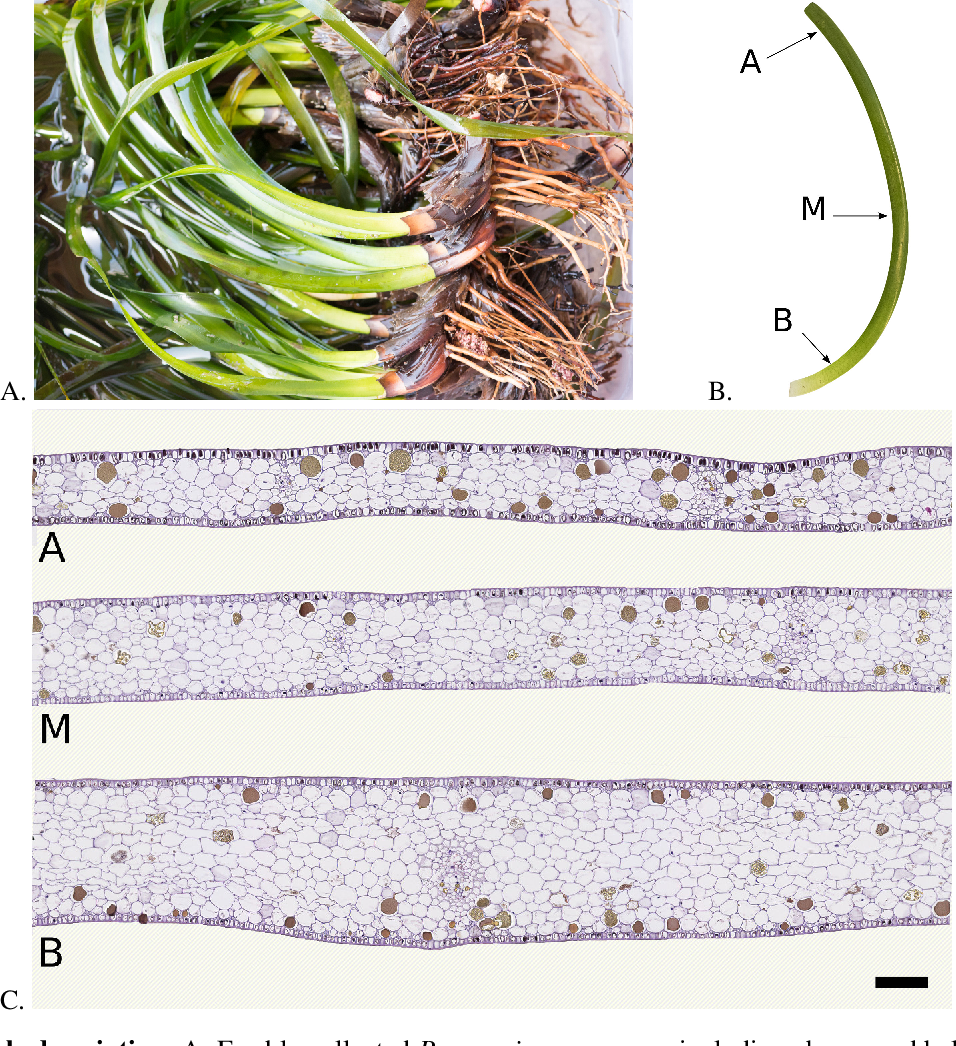 Figure 1 for Characterization of Posidonia Oceanica Seagrass Aerenchyma through Whole Slide Imaging: A Pilot Study