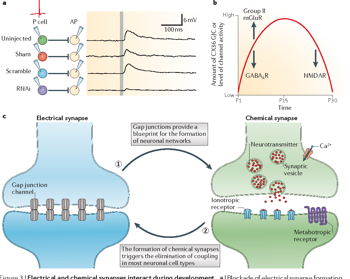 chemical synapse and electrical synapse