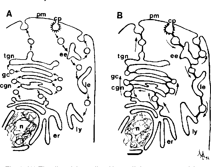 Figure 1 From Transport And Internal Organization Of Membranes
