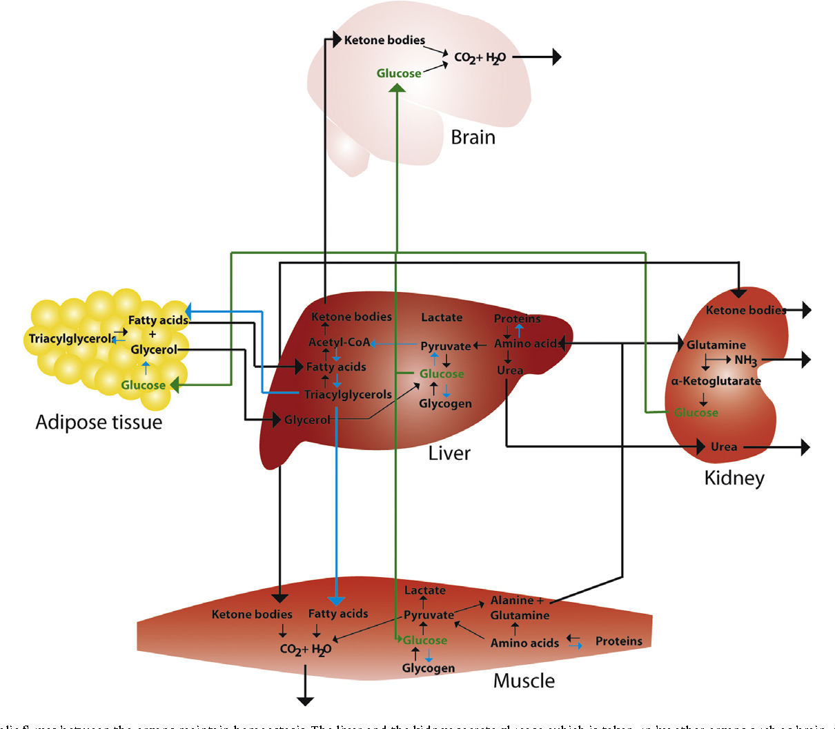 The Role Of Clock Genes And Rhythmicity In The Liver Semantic Scholar