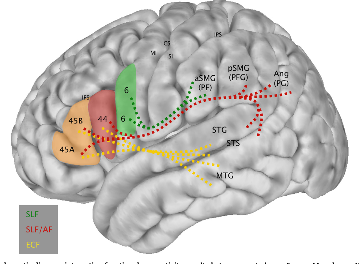 The prefrontal cortex: comparative architectonic organization in the ...