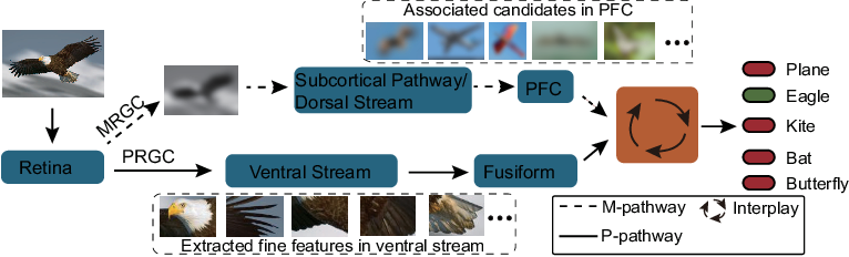 Figure 1 for Vision at A Glance: Interplay between Fine and Coarse Information Processing Pathways
