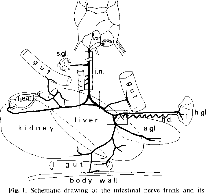 Figure 2 From Nerve Cells And Synaptic Connections In The Intestinal