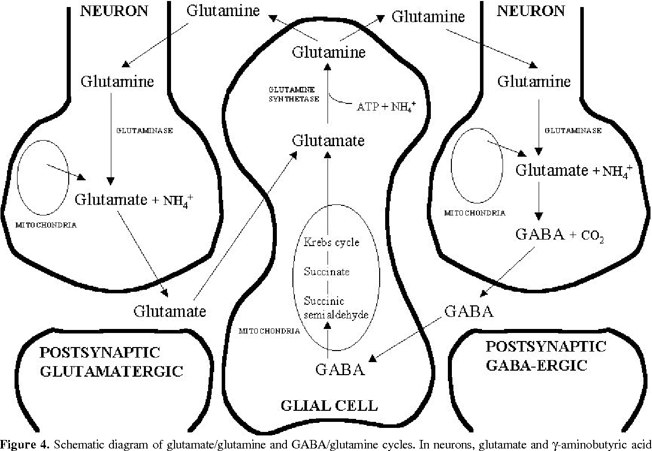 Figure 4 from excitatory amino acid neurotransmission pathways for schematic diagram of glutamateglutamine and gabaglutamine cycles in ccuart Gallery
