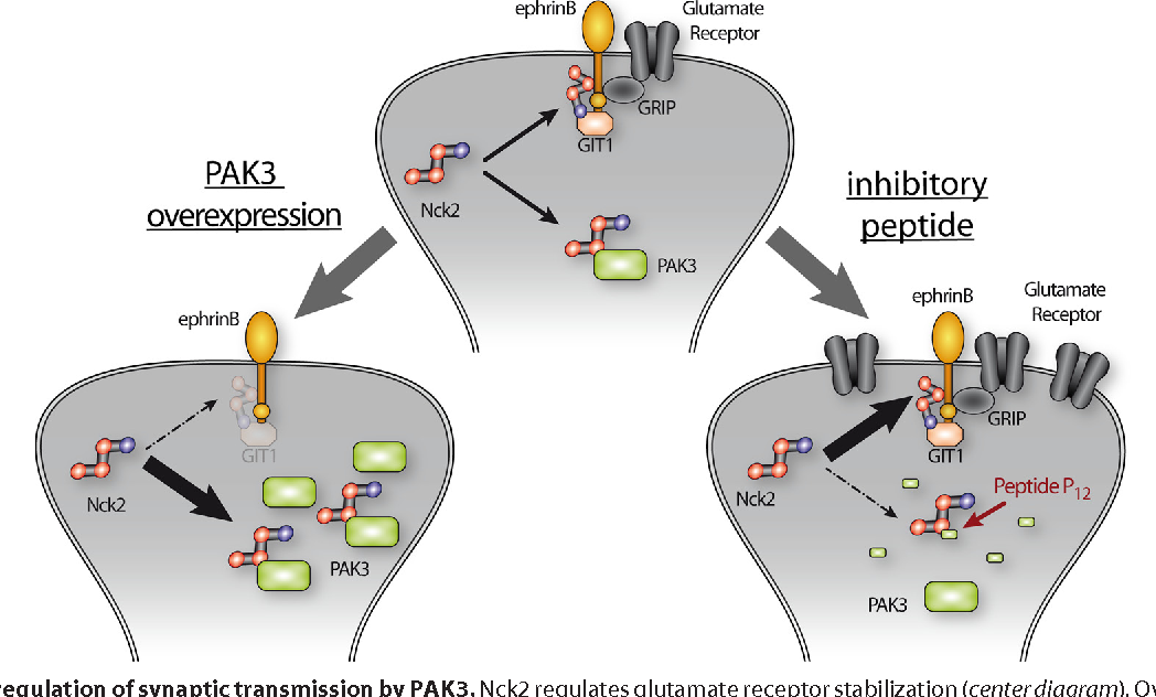Figure 9 From P21 Activated Kinase 3 Pak3 Protein Regulates
