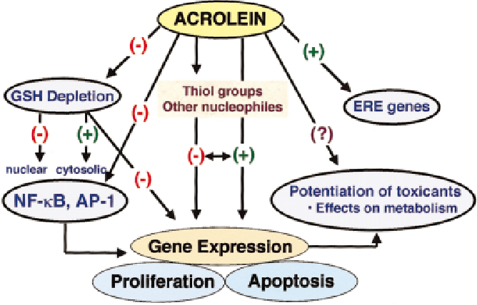 FIG. 1. Mechanisms by which acrolein may affect cells molecularly. Acrolein is highly electrophilic and will react with cellular nucleophiles, particularly thiols. This may affect gene expression or acrolein may directly interact with various genes and transcription factors. The net effect of acrolein is to diminish cell proliferation and possibly to enhance the susceptibility of cells to death by apoptosis or oncosis.