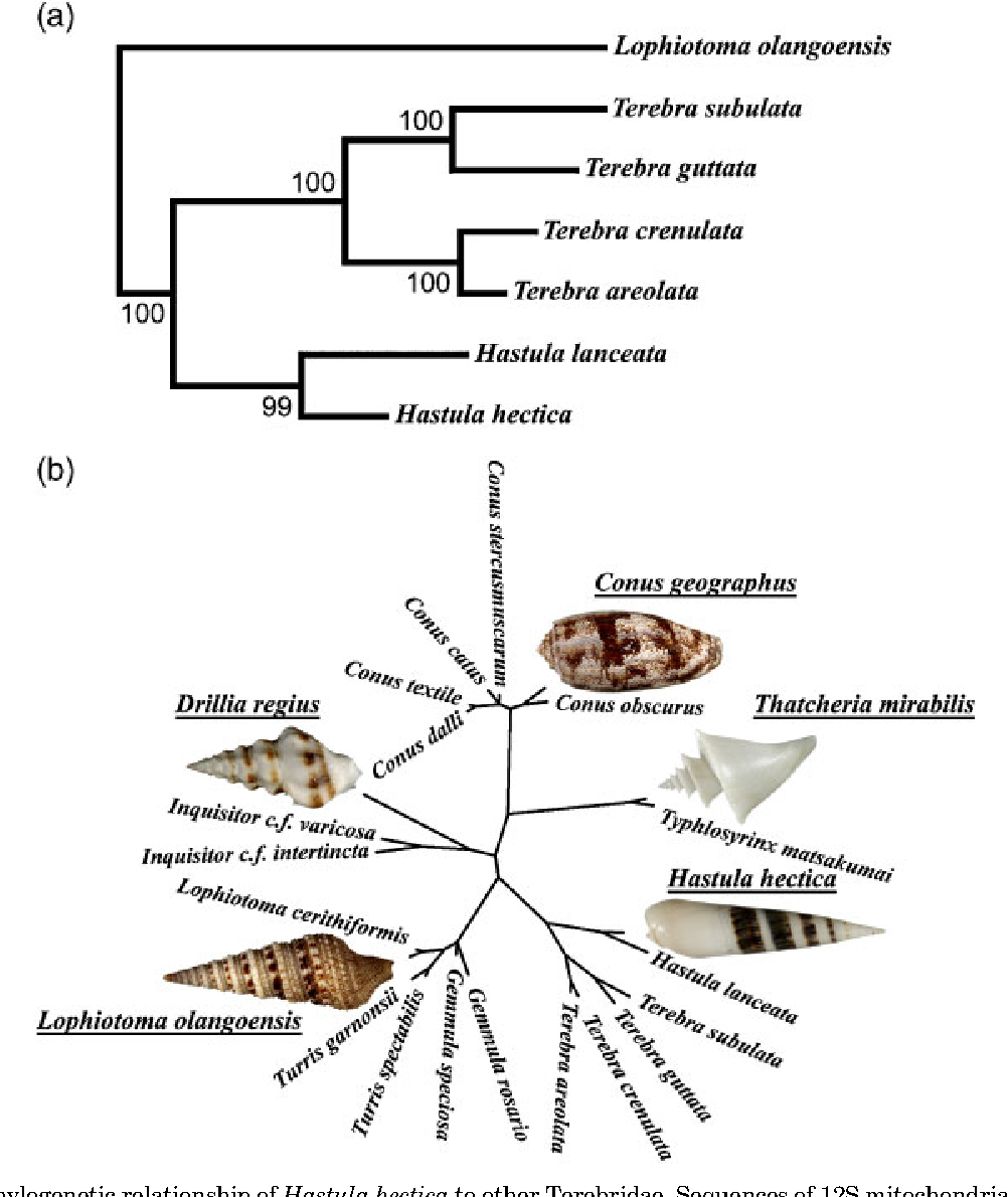 Figure 2 from Venomous auger snail Hastula (Impages) hectica ...