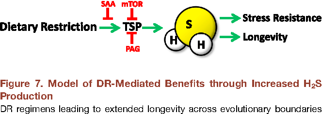 Figure 7. Model of DR-Mediated Benefits through Increased H2S Production