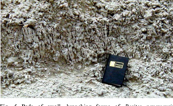 Fig. 5. Beds of small, branching forms of Porites panamensis (''pencil''-Porites) are widely distributed on the terrace surface. The coral heads typically range from 10 to 25 cm in height and form beds 0.5–2m thick. Example from the Road Cut Locality, near Potrero.