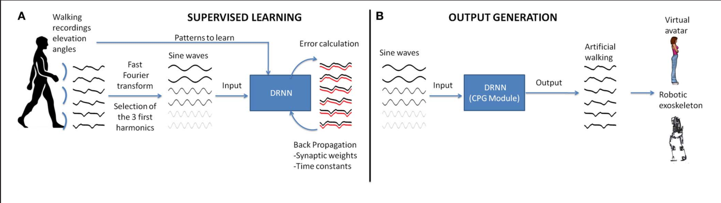 Biological Oscillations For Learning Walking Coordination Dynamic Simple Central Pattern Generator