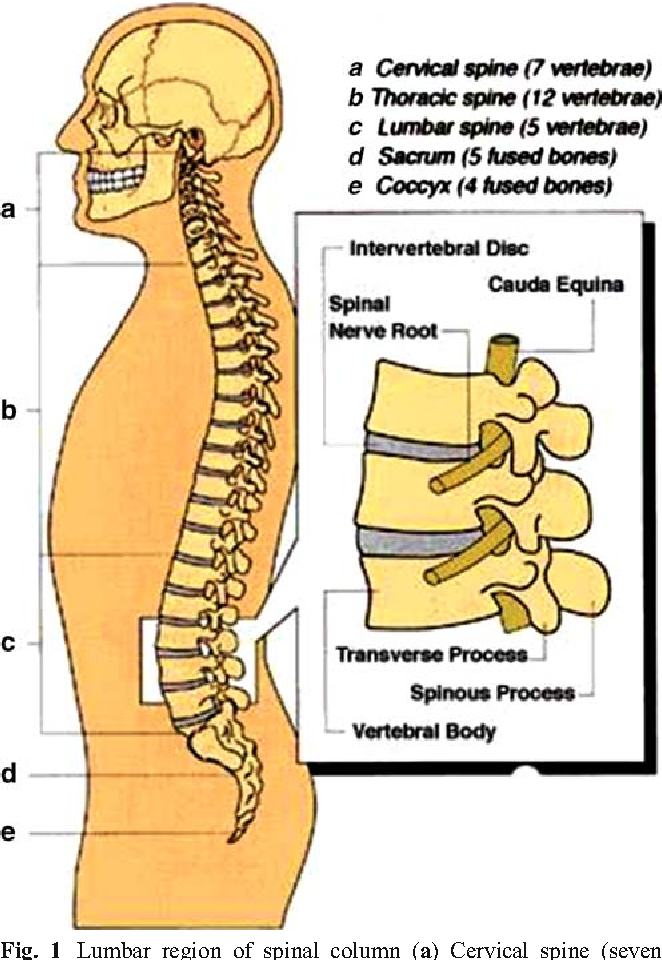 Vertebral Body Integrity A Review Of Various Anatomical Factors