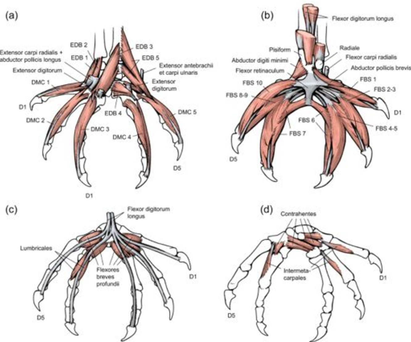 Comparative musculoskeletal anatomy of chameleon limbs, with ...